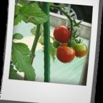 ミニトマト_02